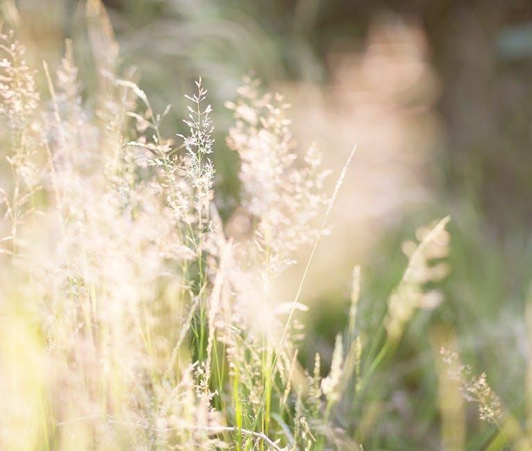 Strå i solskinn – mange er plaget av høysnue, eller gresspollen, på fine sommerdager