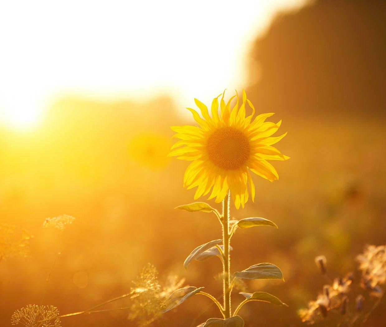 Die Sonnenblume kann Pollenallergie Symptome auslösen, das kann zu Heuschnupfen führen.