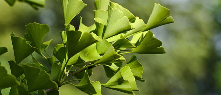 Obrázek listů ginkgo.