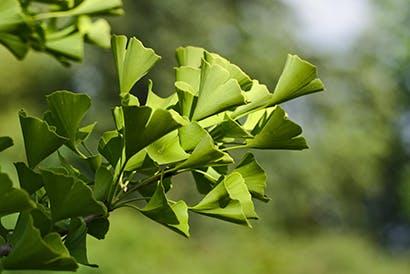 A ginkgo leveleinek ábrázolása.