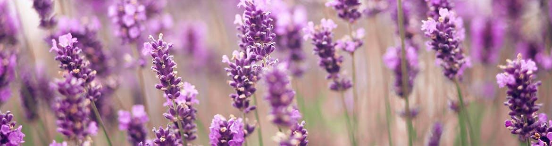 Lavender helps ease headaches