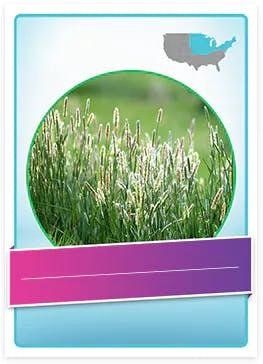 Timothy Grass allergenic pollen
