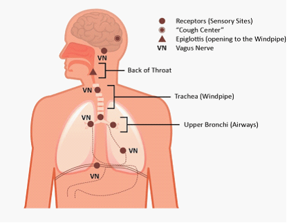 Anatomy of the Cough