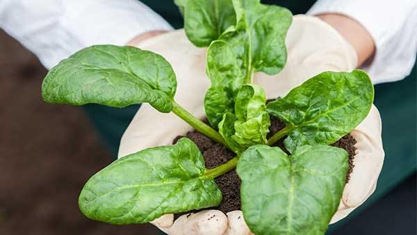 Sujetando una planta de espinacas