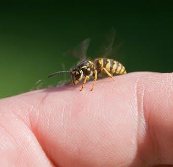 Kąsając lub żądląc, owady wstrzykują w skórę człowieka substancje chemiczne.