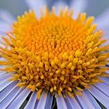 Flower that causes pollen allergy symptoms