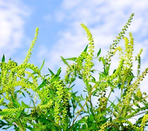 Pollen can trigger allergy symptoms during the spring season