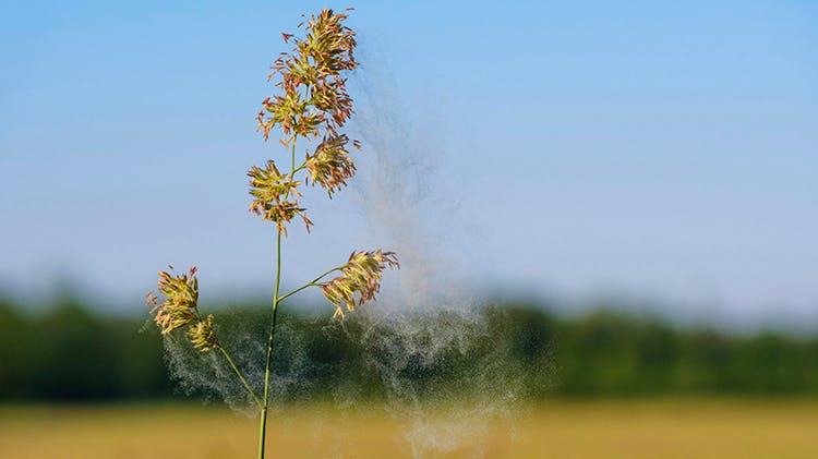 Plant Pollen Allergens