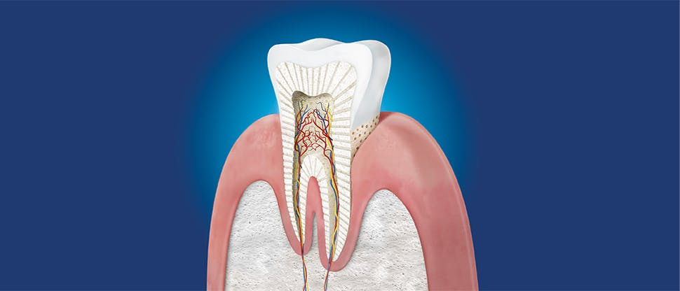 Zahn im Querschnitt Illustration