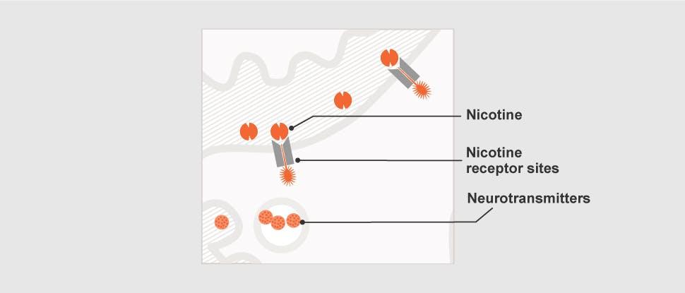 Nicotine receptor sites