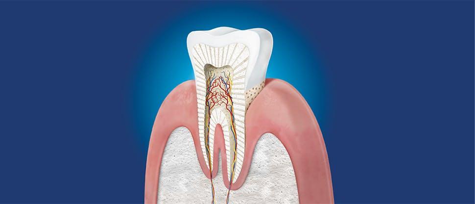 Secţiune transversală a dintelui