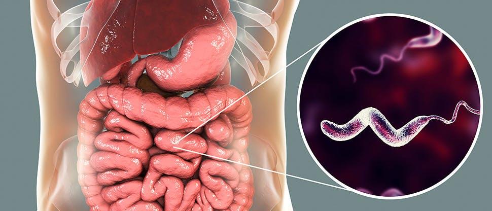 campylobacter-bacteria-in-intestine