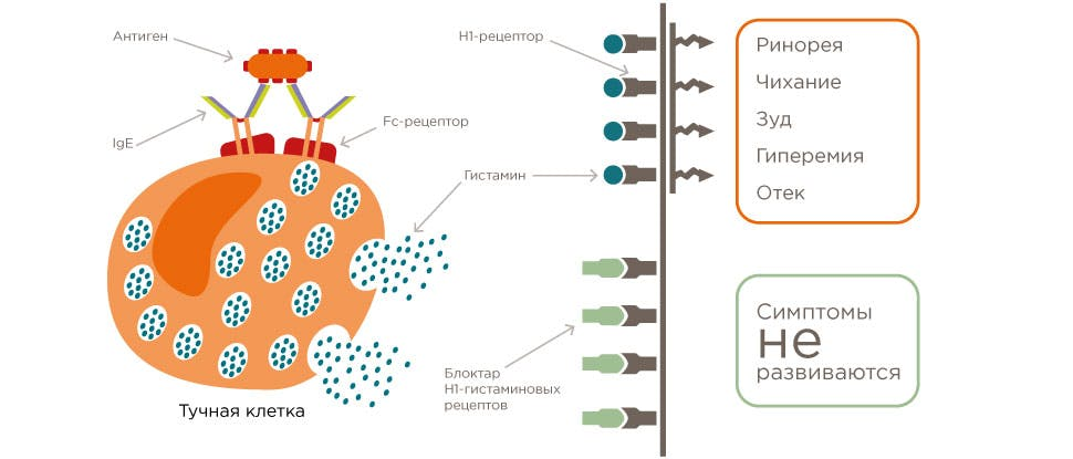 Механизм действия блокаторов Н1 рецепторов к гистамину