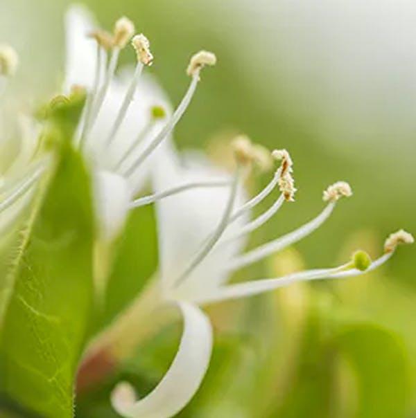 Image of pollen