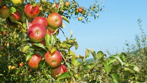 Why Apples Might Be Causing Your Gas