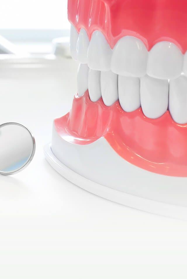 Pilnas dantų modelis su odontologo veidrodėliu
